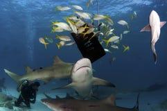 Requins de citron Photographie stock