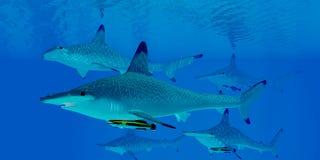 Requins de poisson-marteau Images libres de droits