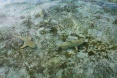 Requins de récif Photographie stock libre de droits