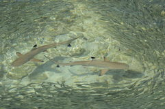Requins de récif coralien photo stock