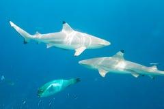 Requins de récif de Blacktip Photo libre de droits