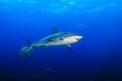 Requins de récif dans l'eau bleue Photo stock
