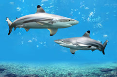 requins de récif de blacktip nageant les eaux tropicales Photos stock