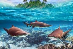 Requins de taureau dangereux sous-marins image stock