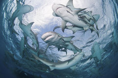 Requins entourants Photos libres de droits