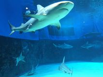 Requins et requins Photographie stock libre de droits
