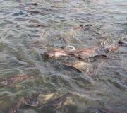 Requins iridescents, catfishs rayés, catfishs de Sutchi Photographie stock libre de droits