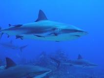 Requins nageant par le récif Image stock