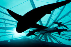 Requins silhouettés Photographie stock