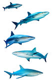Requins sur le blanc Images libres de droits