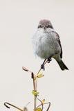 Res-basked shrike. Shrike posing on flower stem Stock Images