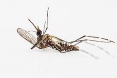 Res muerta del mosquito de la fiebre amarilla Imagen de archivo