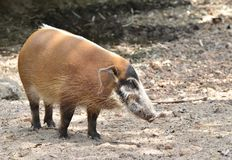 Res river hog Royalty Free Stock Photos