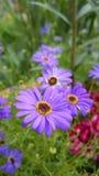 Resa av purpurfärgade blommor Arkivbilder