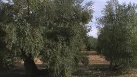 Resande eller rörande kamera från en skörd av olivträd