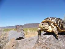 Resande sköldpadda arkivfoton