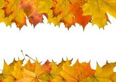 Resbalón del arce del otoño Imagenes de archivo