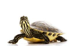 Resbalador Yellow-bellied Fotografía de archivo