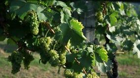 Resbale el tiro en el wineyard con las uvas deliciosas que son se encienden perfectamente para arriba almacen de video