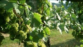 Resbale el tiro en el wineyard y la detención en las uvas deliciosas que son
