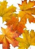 Resbalones del arce del otoño Foto de archivo libre de regalías