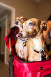 Rescate animal adoptado miniatura de los galgos Fotografía de archivo