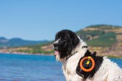 Rescate del perro de Landseer en agua Imágenes de archivo libres de regalías