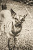 Rescate el portait del perro, tiro en la película blanco y negro fotografía de archivo