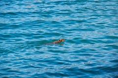 Rescate negro de Labrador en agua Foto de archivo