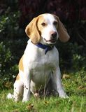 Rescue beagle sitting in field Royalty Free Stock Image