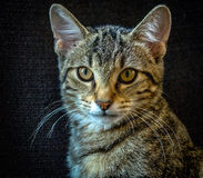 Rescue Cat. Head shot of cat against black background Stock Photos