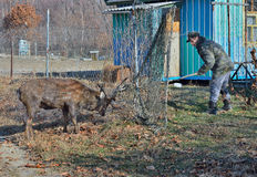 Rescue of deer 3 Stock Photography