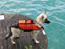 Rescue dog. Search and Rescue dog in the lake stock photography