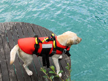 Rescue dog royalty free stock images
