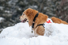 Rescue dog in action royalty free stock photos