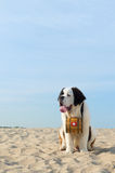 Rescue dog with barrel Royalty Free Stock Images