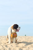 Rescue dog with barrel Royalty Free Stock Photography