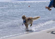Rescue dog follows the instructions Stock Images