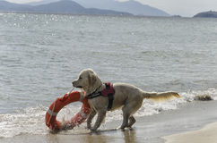 Rescue dog with lifebelt Stock Photos
