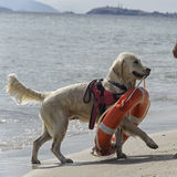 Rescue dog with lifebuoy Stock Images