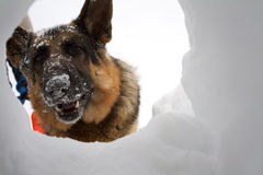 Rescue Dog Looking At A Survivor Through Hole Royalty Free Stock Images