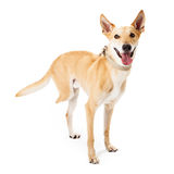 Rescue Dog Missing Back Leg Royalty Free Stock Photography