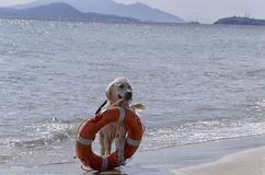 Rescue dog with preserver. Rescue dog comes out of the sea with preserver Royalty Free Stock Photography