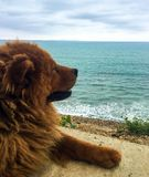 CHOW DOG OVERLOOKING THE OCEAN stock images