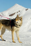 Rescue dog on snow Royalty Free Stock Image