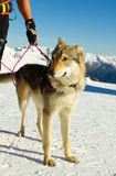 Rescue dog on snow Stock Photography