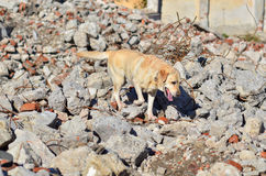 Rescue dog. Dog during a rescue training exercise in a rubble zone stock photos