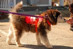 Rescue Dog Training Stock Photography