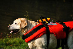 Rescue dog waiting Royalty Free Stock Image