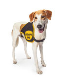 Rescue Dog Wearing Adopt Me Vest Royalty Free Stock Images